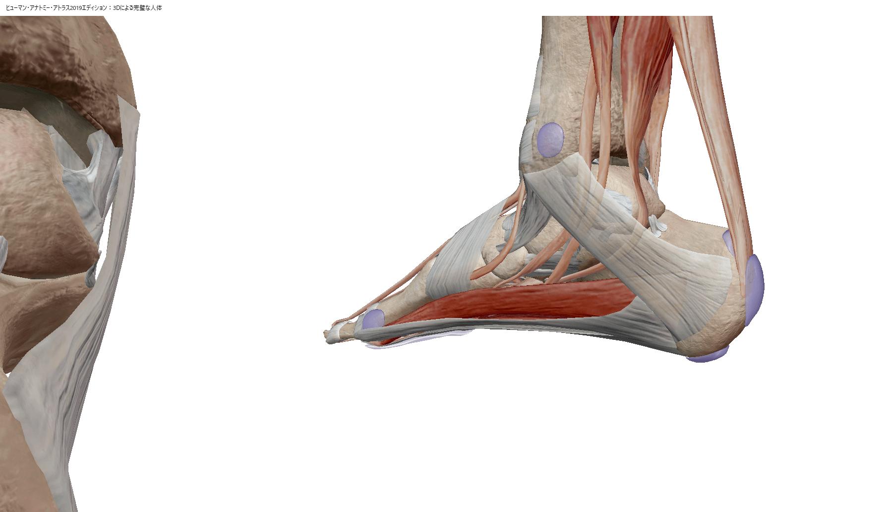 患者さんへの傷病説明をより理解しやすくするために3Dで操作できる解剖アプリ 「ヒューマンアナトミーアトラス」を導入しました。